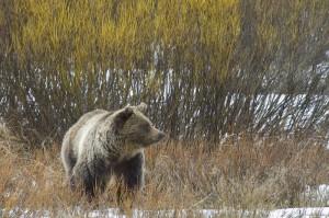 Grizzly bear. Photo by Mark Gocke.