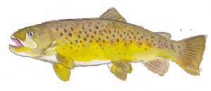 Brown trout, by June Glasson