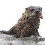 Case of the Missing Otters