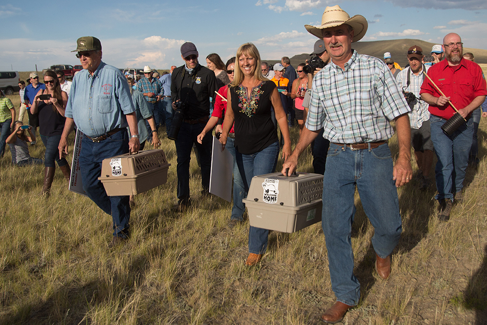 Rancher's Lenox Baker and Kris and Allen Hogg carry captive-raised black-footed ferrets in crates out onto a ranch near Meeteetse, Wyoming, for release to the wild