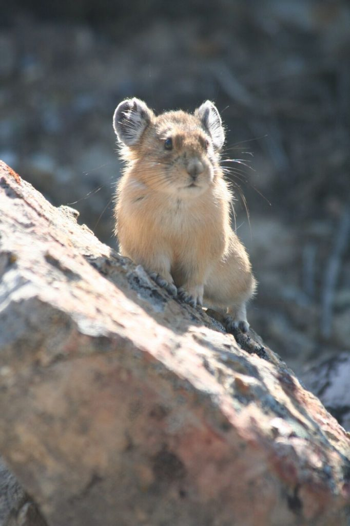 Pika perching on a rock at lower Slide Lake