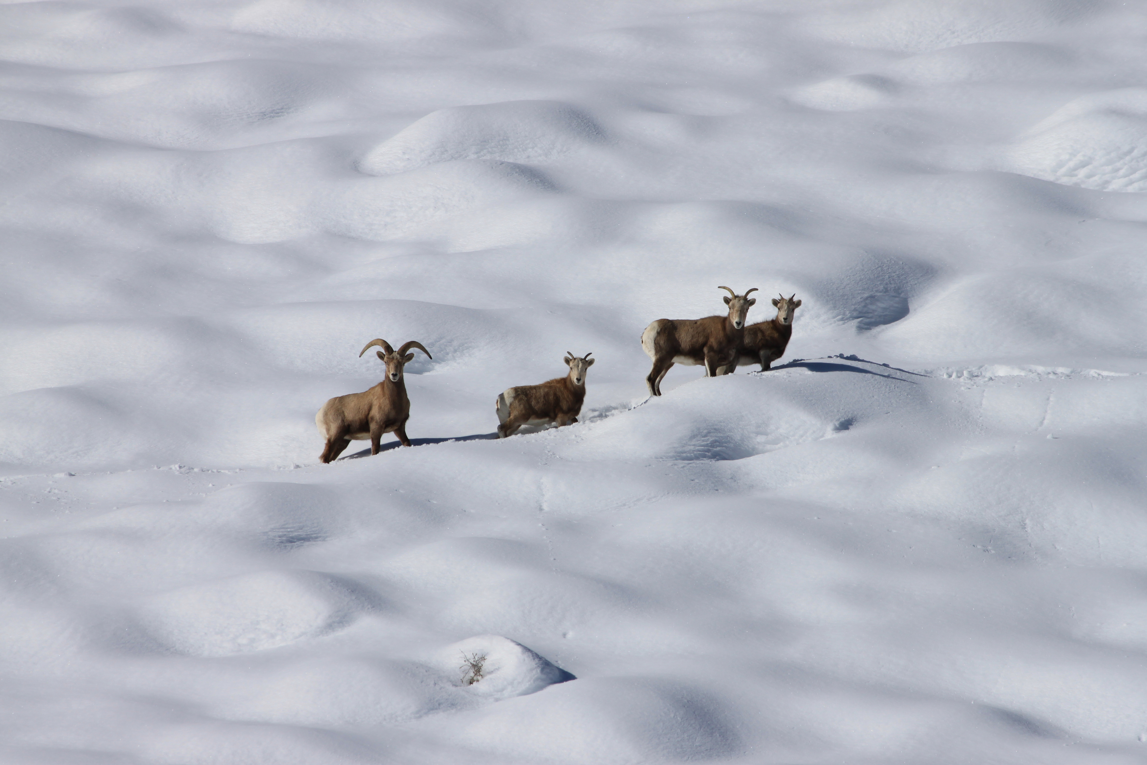 Western Confluence Bighorns Back From The Brink