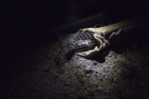Ferret caught in a trap at night