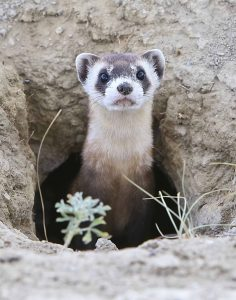 A curious juvenile ferret peers out of his burrow.