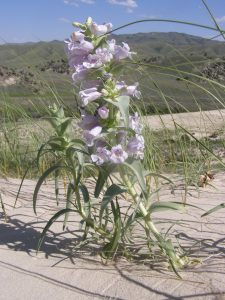 Close up photo of a blowout penstemon with sand dunes and blue sky beyond