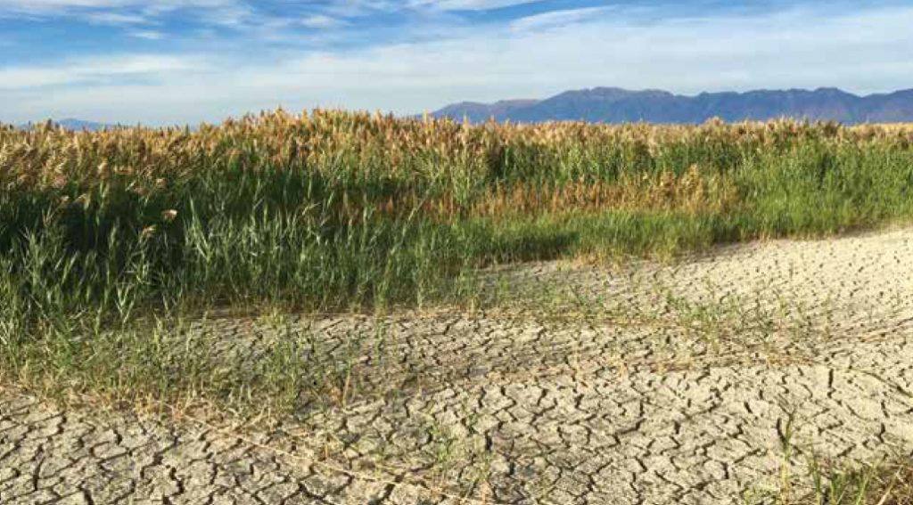 Phragmites on Great Salt Lake