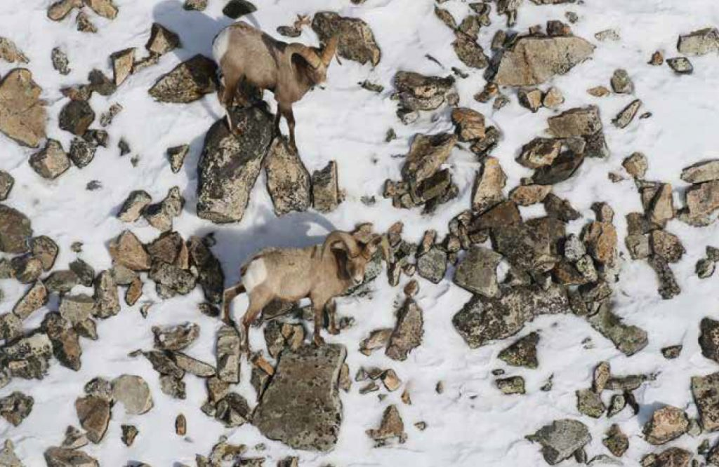 Two bighorn rams in rocky field