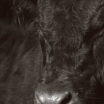 Cattle as ecosystem engineers