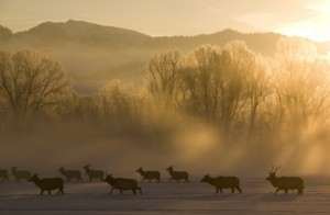 Elk in winter. Photo courtesy Mark Gocke/Wyoming Game and Fish Department.