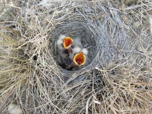 Horned lark nestlings. Photo courtesy Anika Mahoney.