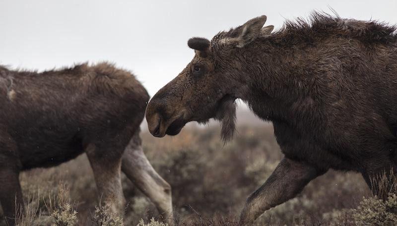 Moose in Jackson Hole. Photo by Charlie Reinertsen.