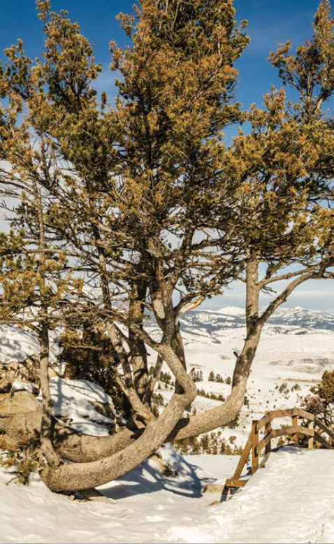 Whitebark pine seeds are high-calorie food for grizzly bears.