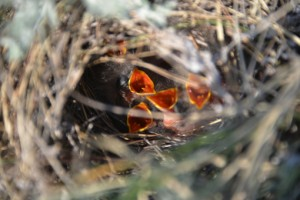 Sprague's pipit nestlings. Photo by Robin M. Walter.