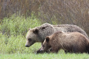Grizzly and cub in Yellowstone. Photo by Mark Gocke.
