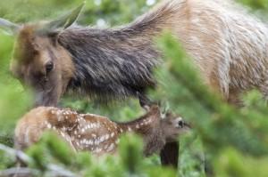 Elk cow and calf. Photo by Charlie Reinertsen.
