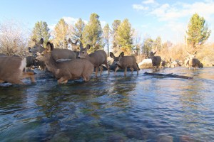 Mule deer cross a lake outlet during their 150-mile-long fall migration from the Hoback Basin to the Red Desert. Photo by Joe Riis.