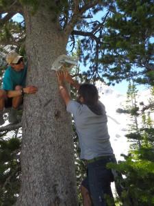 Oliver Sco eld and James Kardouni, seasonal sta , installing a high elevation temperature logger.
