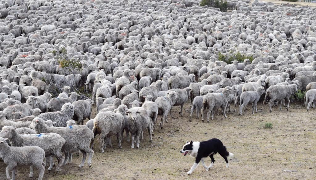 Raising Sheep in Patagonia