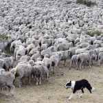 Raising Sheep in Patagonia