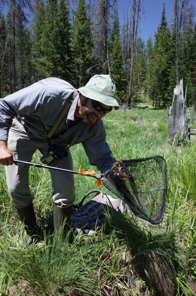 Citizen scientist Jerod Merkle scoops up a tiger salamander in Wyoming's Sierra Madre as part of the Rocky Mountain Amphibian Project.