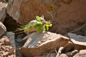 Pika with greens in mouth