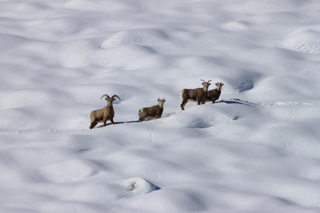 Four bighorn sheep walk in a line across a snowfield