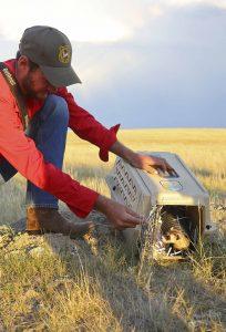 Game & Fish biologist releases ferret