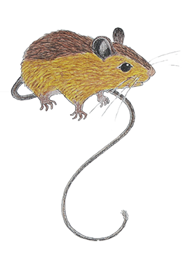 Colored pencil drawing of Preble's meadow jumping mouse