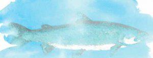Watercolor illustration of freshwater salmon
