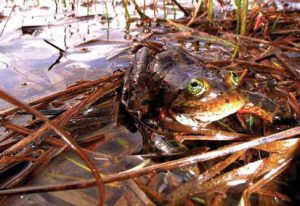 Photo of a frog sitting on reeds in a wetland