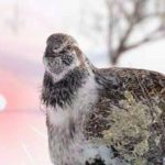 Laser Focus on Sage Grouse