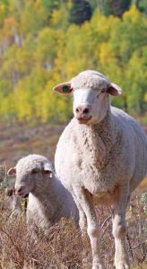 Two white sheep in field