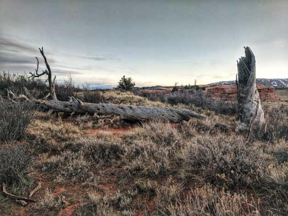 wind-blow, old, dead trees in field