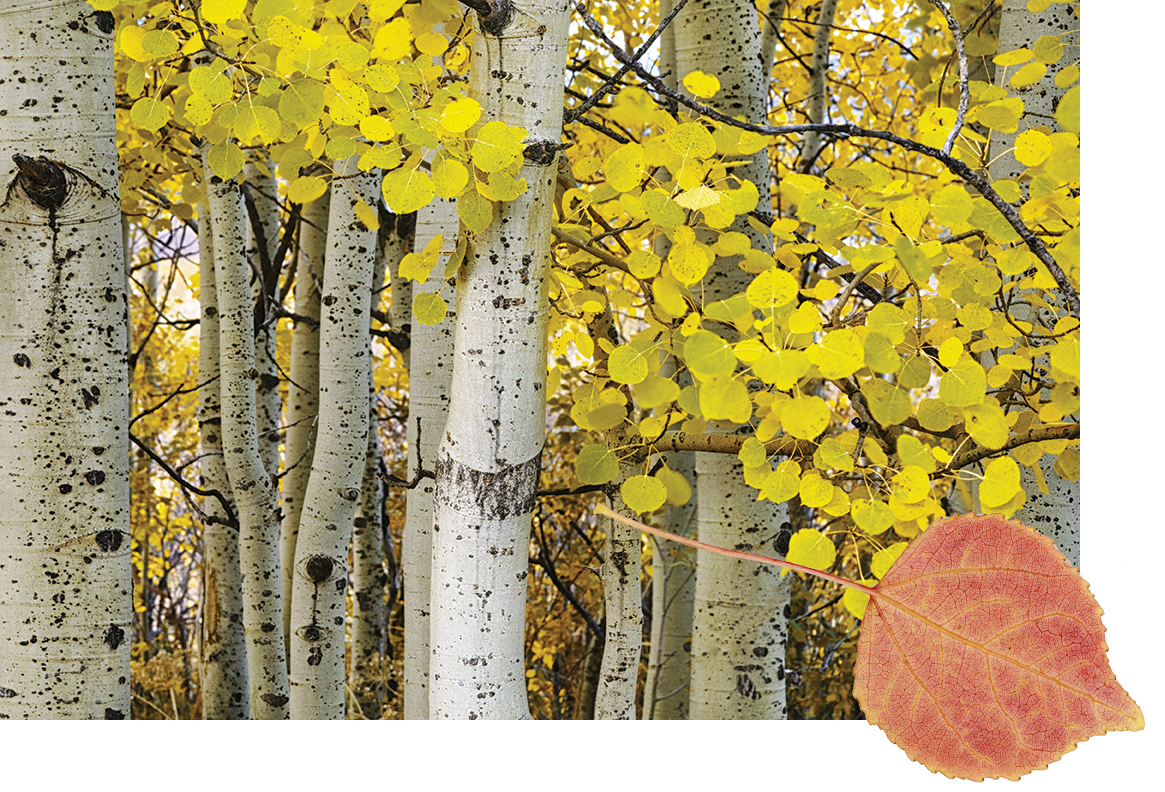 Aspen trees with aspen leaf in foreground