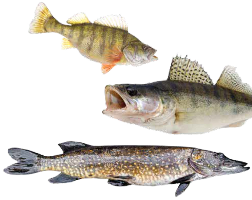 yellow perch, walleye, and northern pike