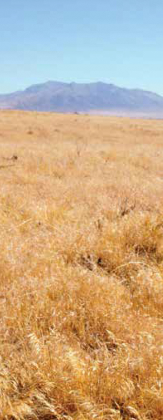 Cheatgrass in the American West.