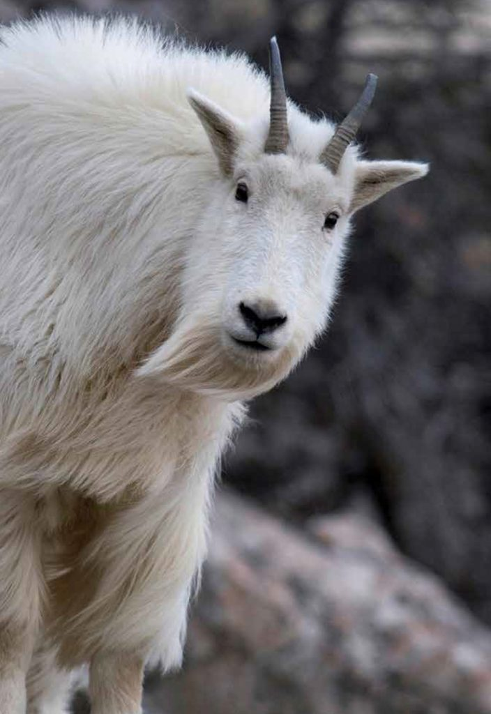 A mountain goat peers down from a cliff
