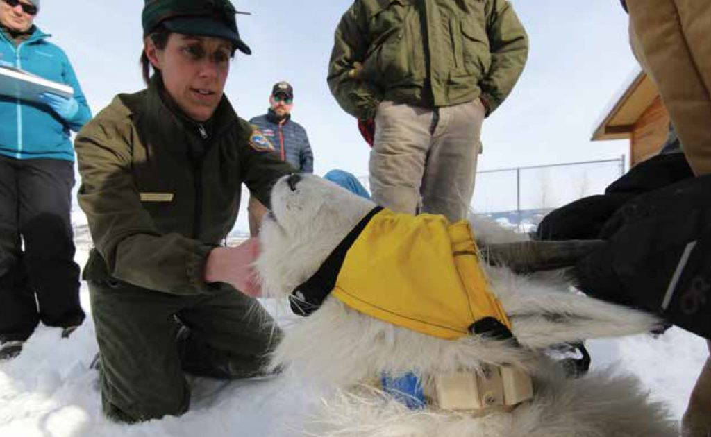 Biologist Aly Courtemanch examines a mountain goat