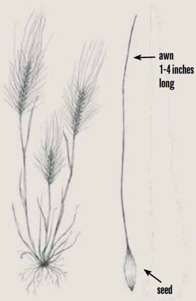 Medusahead (Taeniatherum caput-medusae)