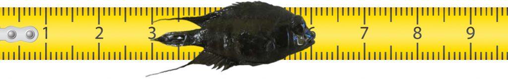 Fish on a ruler. Photo courtesy Chad Whaley/Grand Teton National Park.