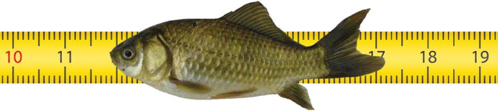 Fish on ruler. Photo courtesy Chad Whaley/Grand Teton National Park.