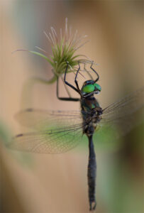 dragonfly clings to plant