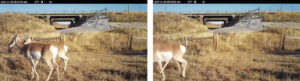 pronghorn by underpass on insterstate