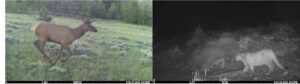 game camera captured deer and mountain lion