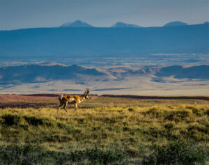 pronghorn walks through pilot hill in Laramie Wyoming