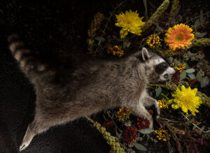 raccoon laying with flowers