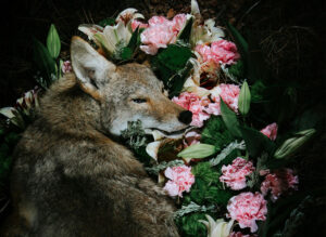 wolf laying with flowers